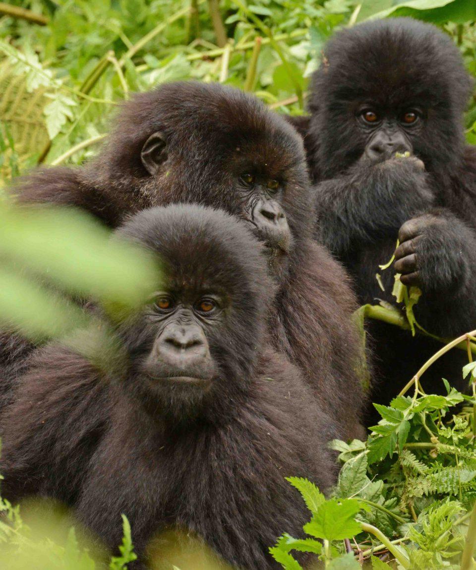 berggorilla Rwanda