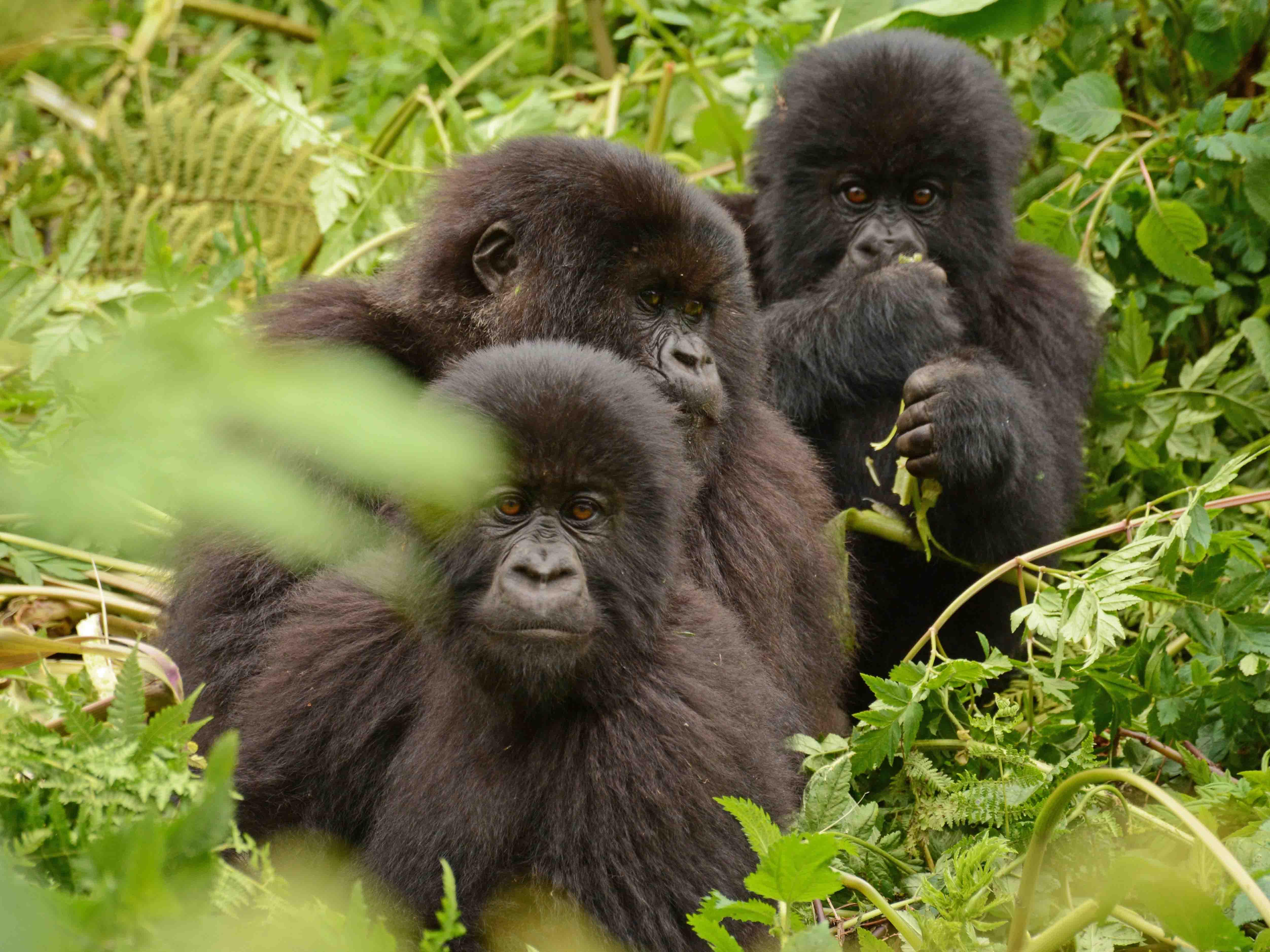 reis gorilla Rwanda