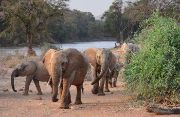 olifant Samburu