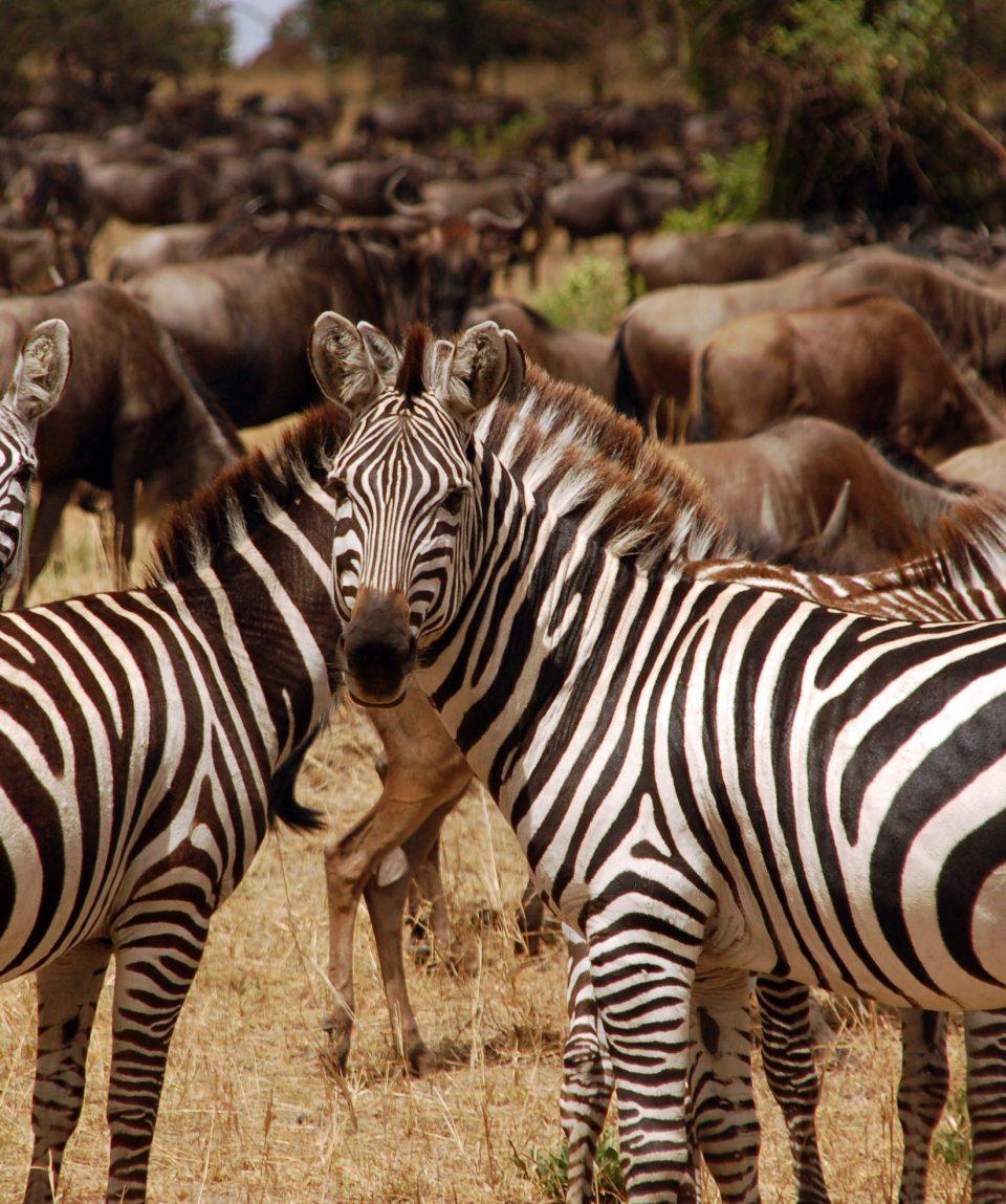 Zebra's Serengeti ©All for Nature Travel