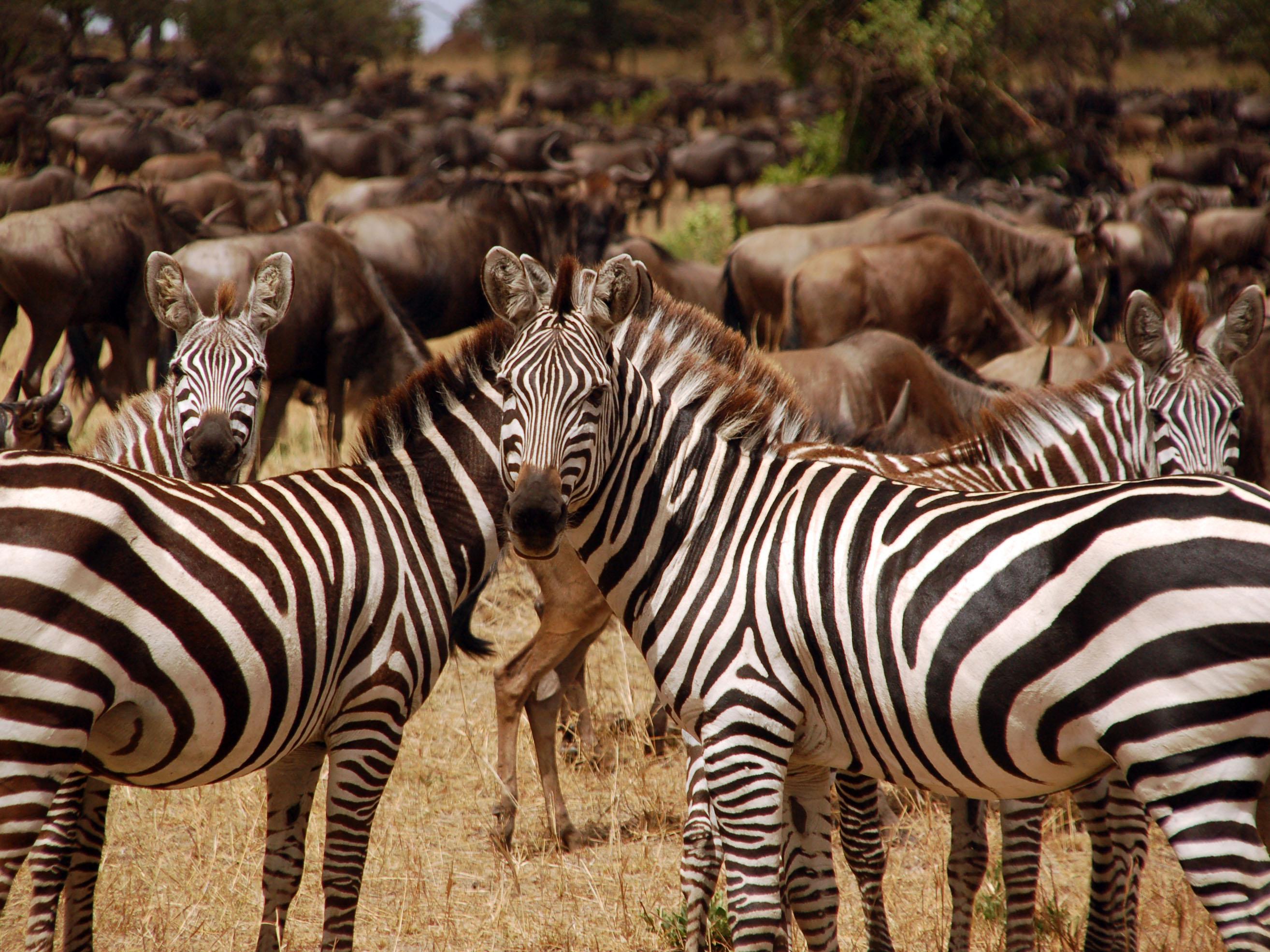 zebra reis