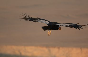 Condor © All for Nature Travel