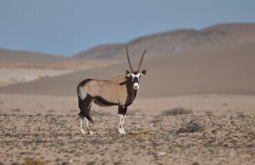 Gemsbok Sperrgebiet ©All for Nature Travel
