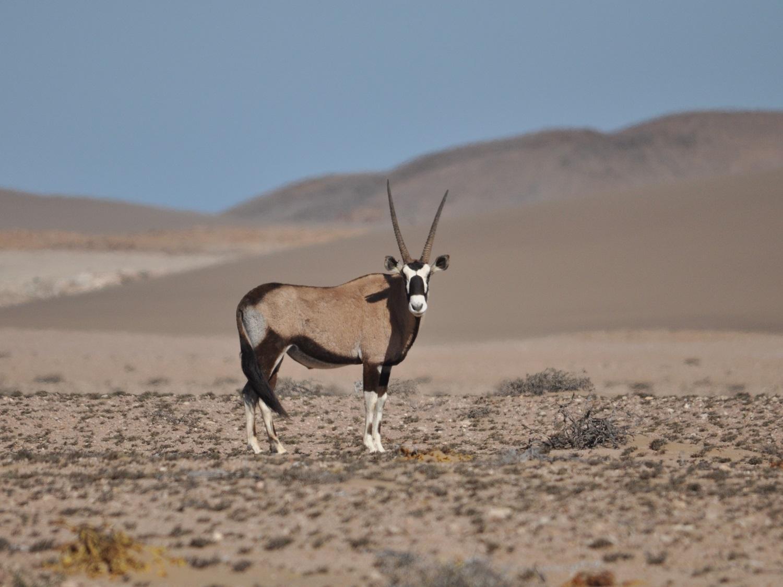 Gemsbok reis, Sperrgebiet reis, reis woestijnen Namibie