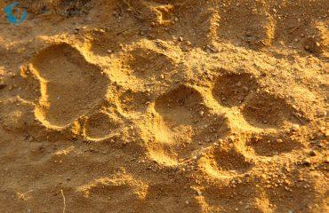 op het spoor van de tijger