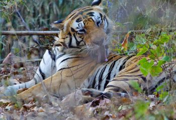 tijger gespot!