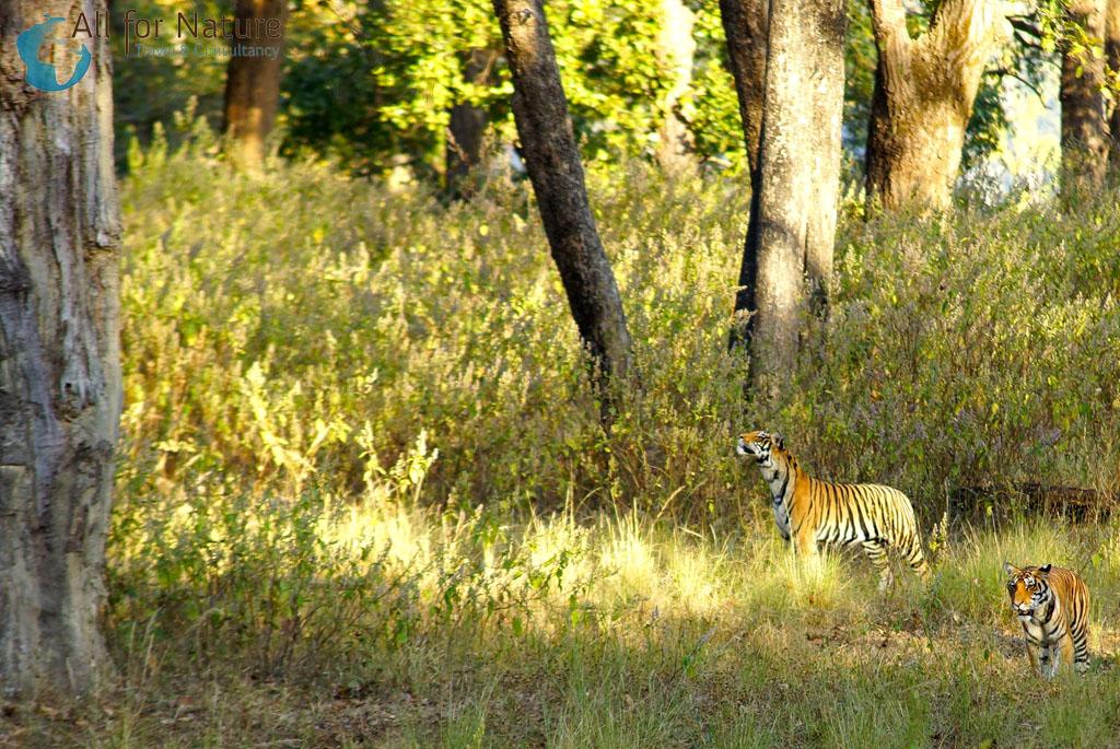 tijgers India