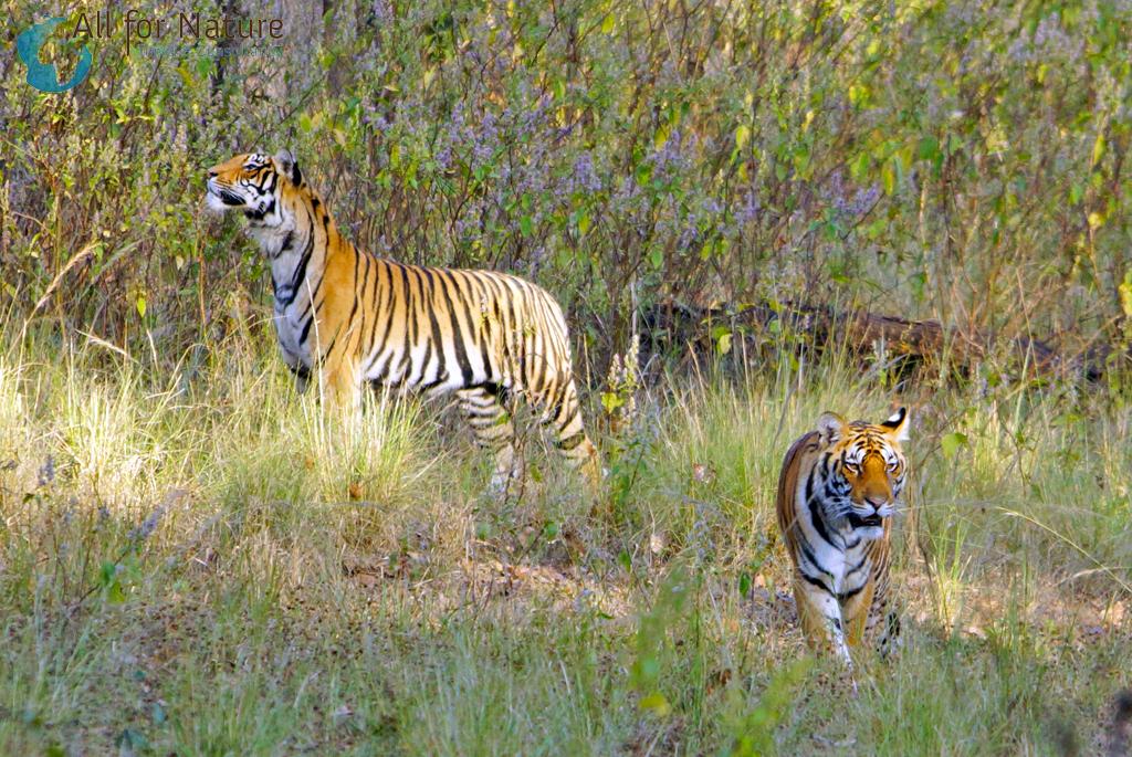 tijgerreis India