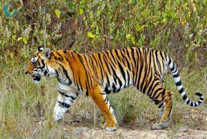 tijgersafar India