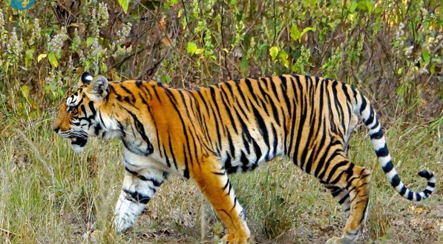 tijger in Kanha NP
