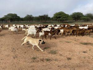 Kangal hond, natuurbescherming Namibie, CCF
