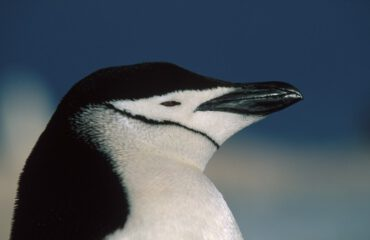 Kinbandpinguin Antarctica ©Franco Banfi