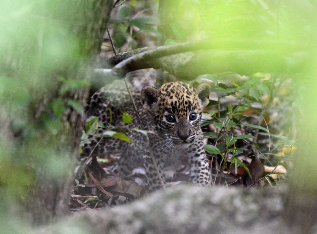 luipaard welpje, sri lanka , wildlife