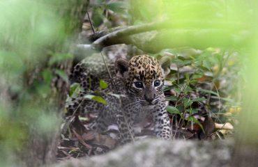 luipaard welpje Sri Lanka ©Martin van Lokven