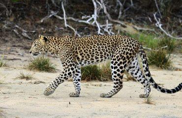 luipaard Wilpattu NP ©Martin van Lokven