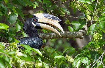 neushoornvogel Sri Lanka ©Martin van Lokven