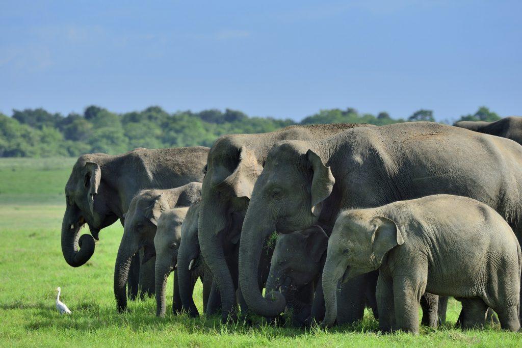 olifanten, minneriya, sri lanka