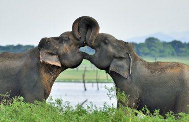 Olifantenliefde Sri Lanka ©Martin van Lokven