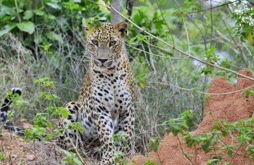 luipaard Yala NP Sri Lanka ©Martin van Lokven