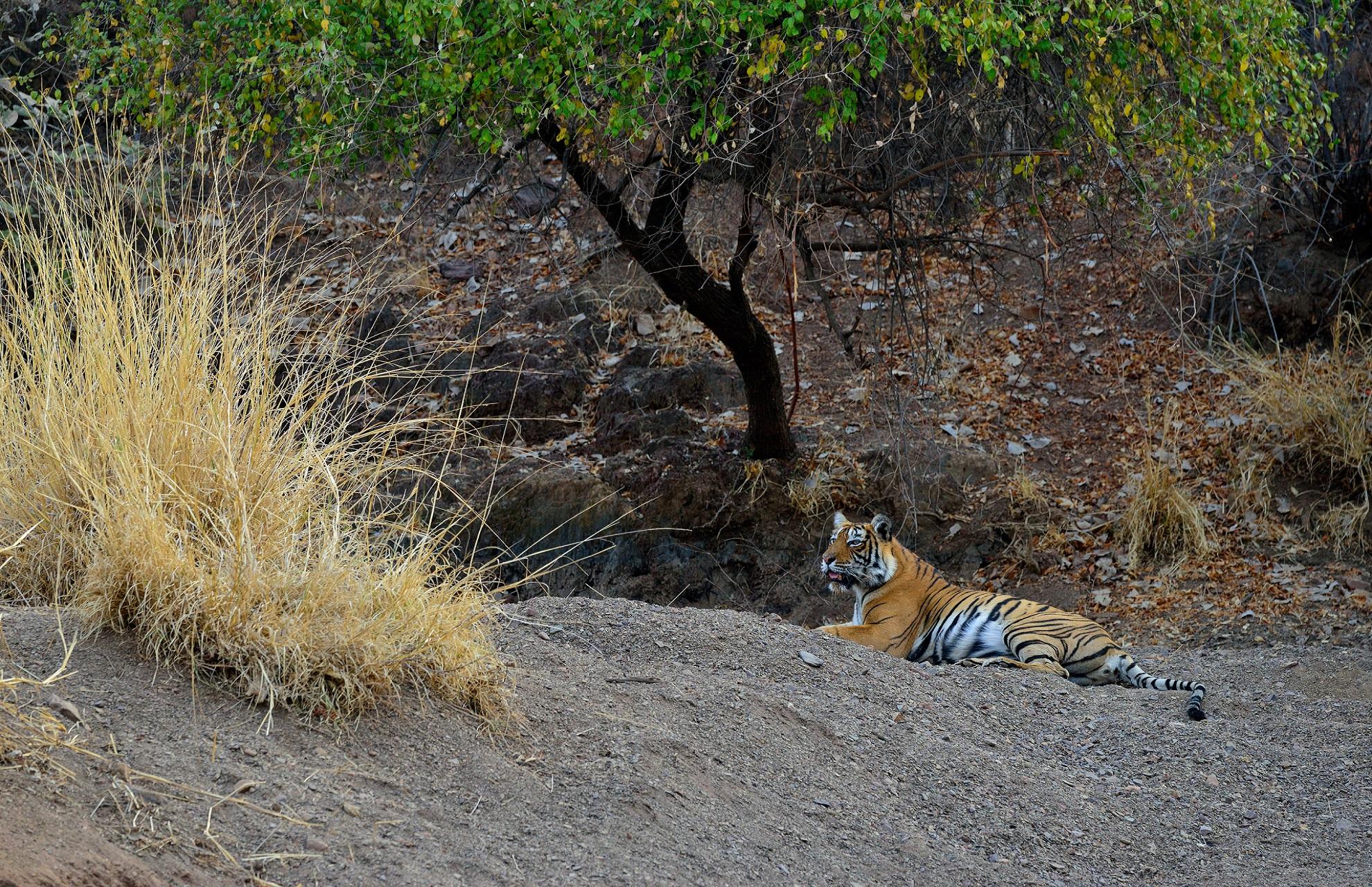 natuurreis tijger