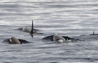 Orka's Antarctica©Jamie Scherbeijn
