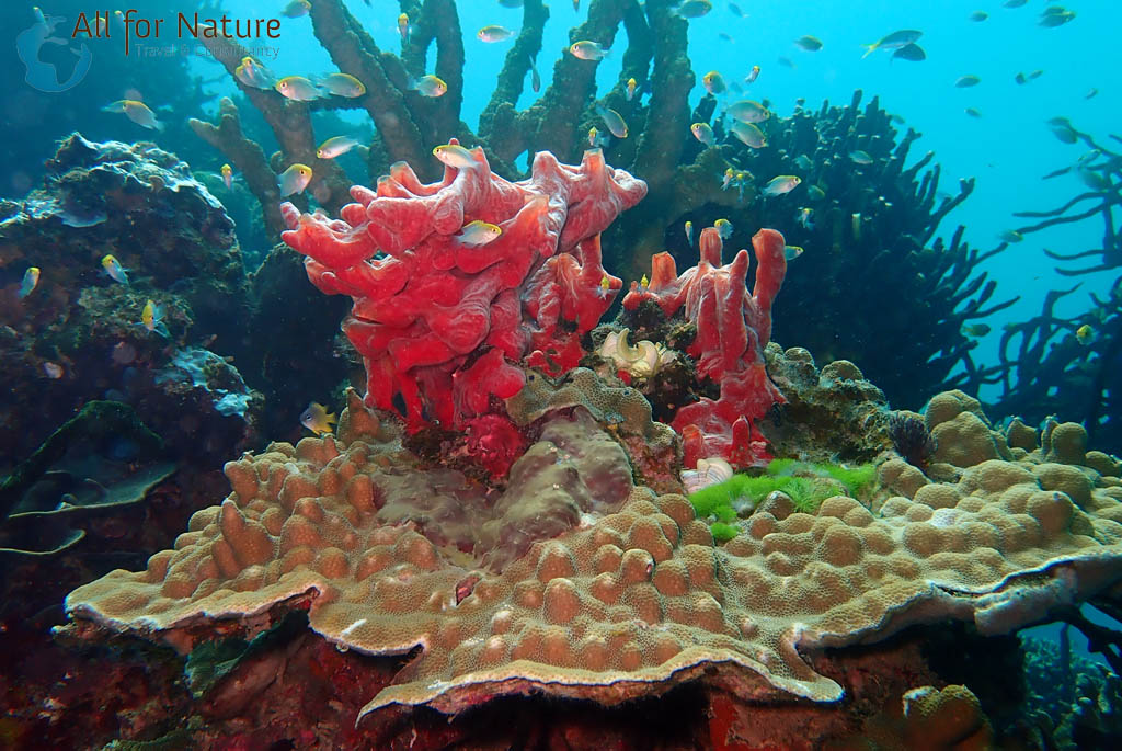 koraal bij Koraaldriehoek