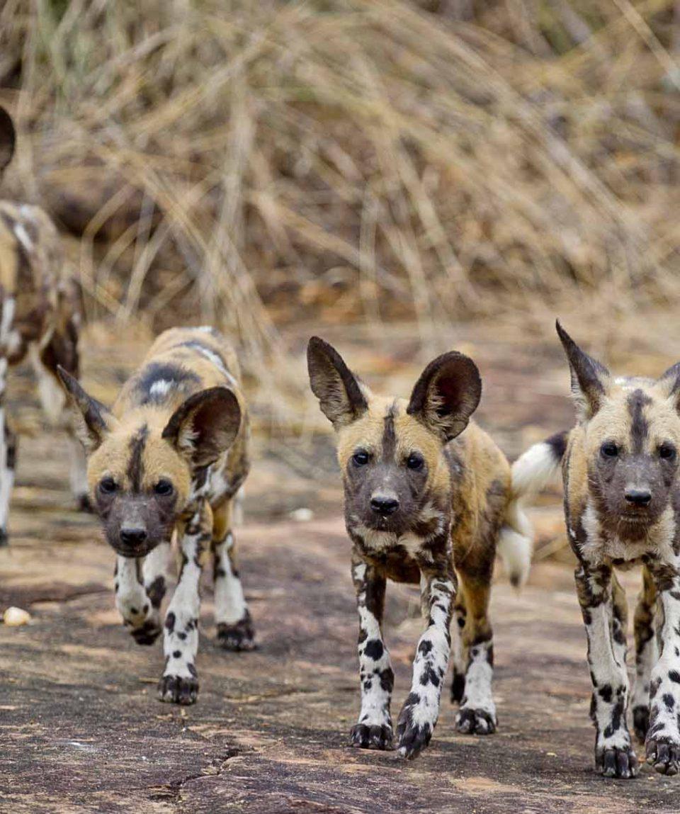 wilde honden Selous