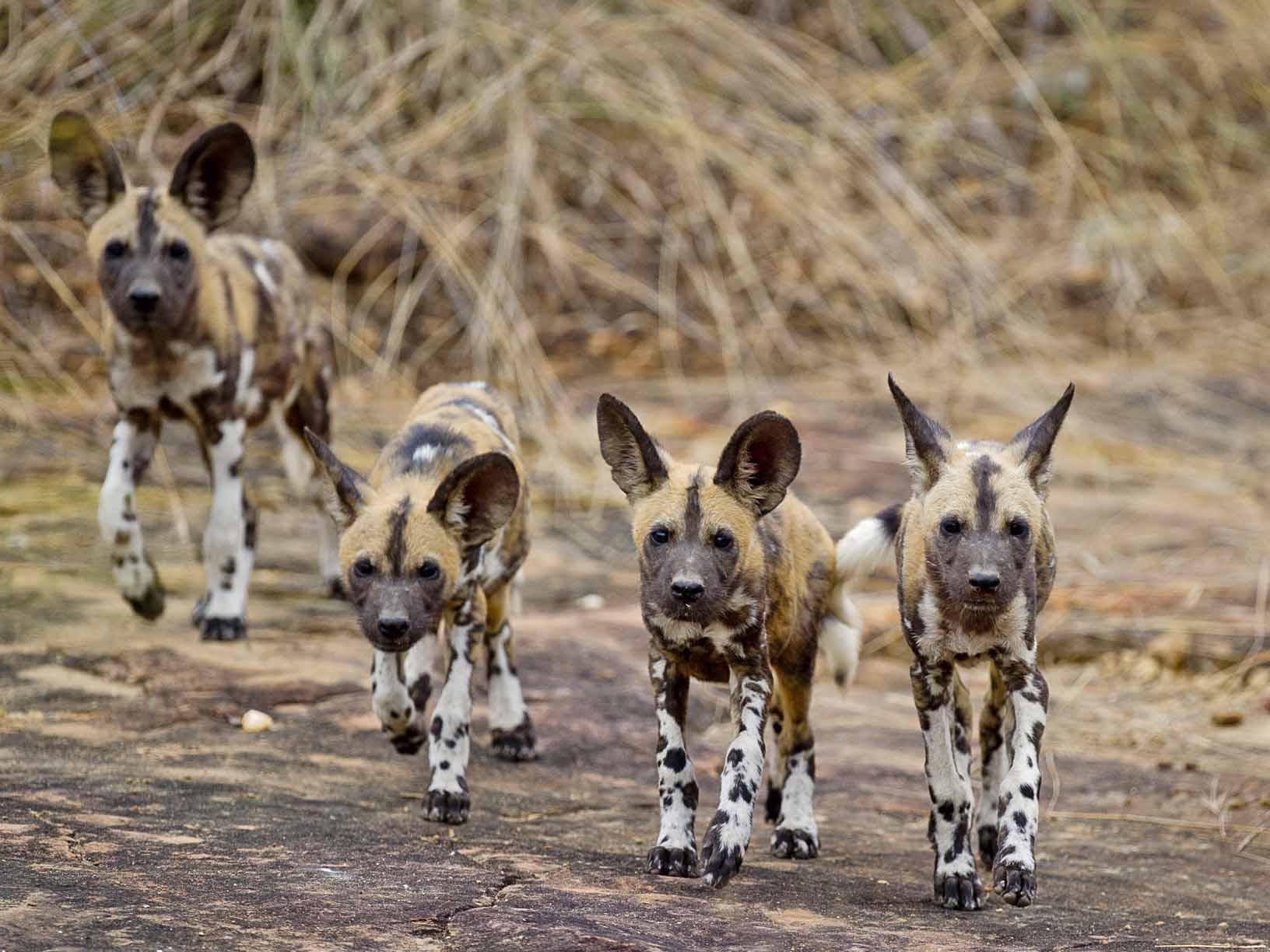 reis wilde honden, wildlife reis Tanzania