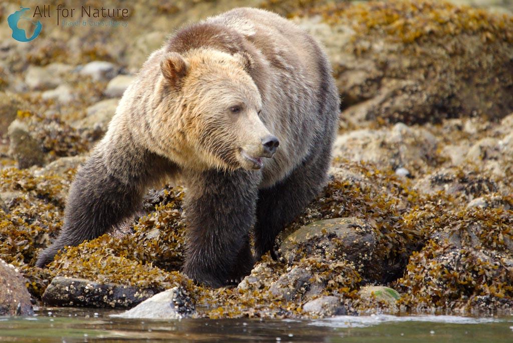 reis grizzlybeer