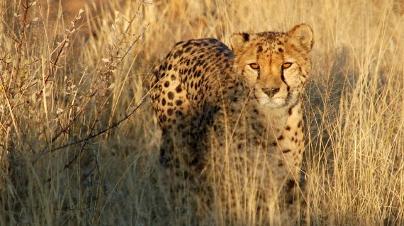 Cheeta of jachtluipaard bij AfriCat ©All for Nature Travel