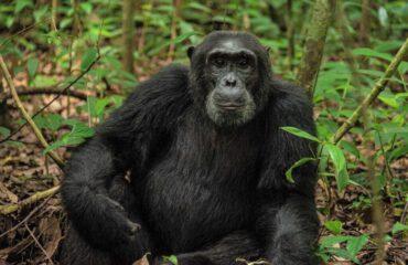 chimpansee Kibale Uganda ©Ageeth Borghardt