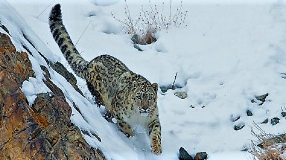 sneeuwluipaard Ladakh