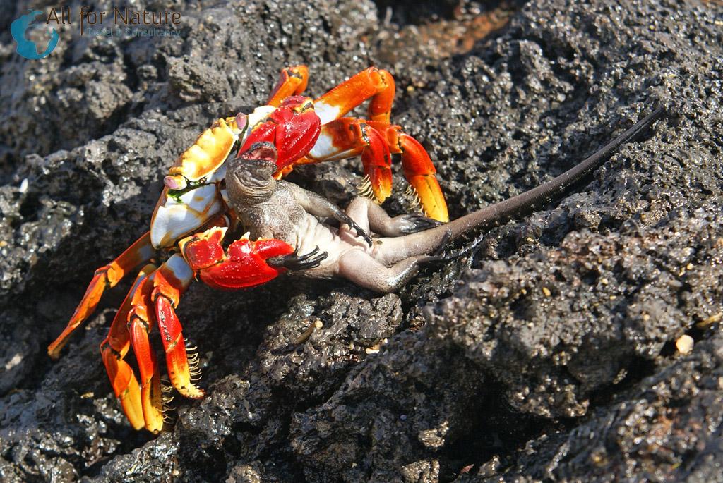 krab Galapagos