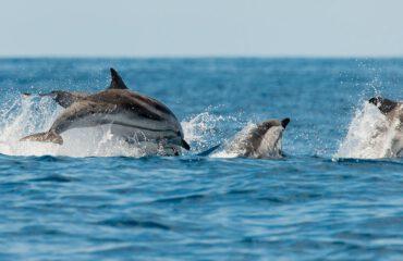 common dolphin groep ©Martin van Lokven