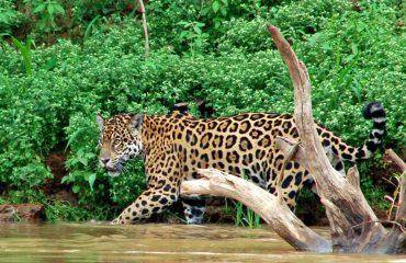 jaguar in de Pantanal © All for Nature Travel