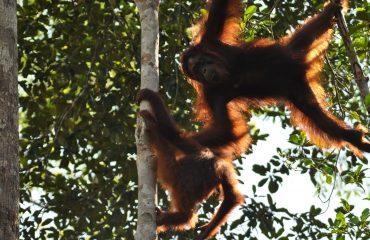 Orang-oetan Borneo ©All for Nature Travel