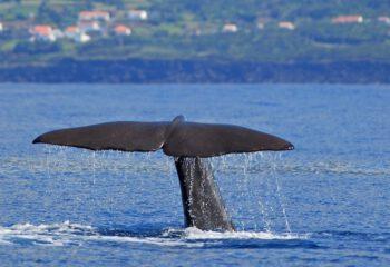 walvissen bij Pico