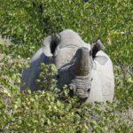 reis zwarte neushoorn, black rhino, zwarte neushoorn namibie