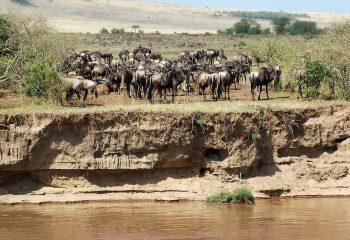 Wildebeesten- migratie Kenia