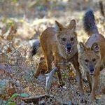 dhole, wilde honden, india, tijgersafari