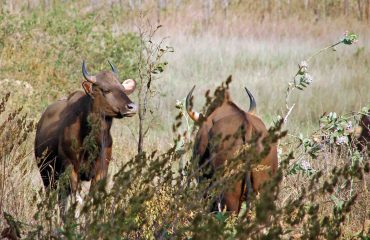 Gaur Kanha ©All for Nature Travel