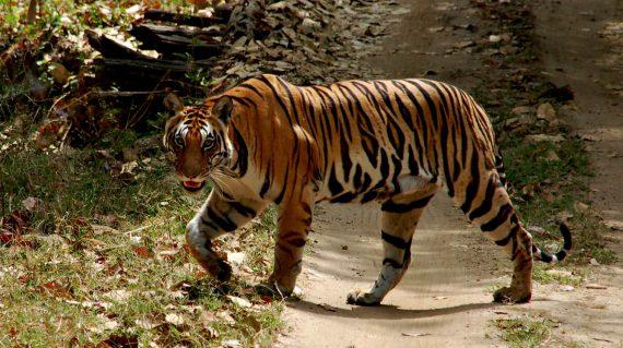 Tijgerin in Kanha © All for Nature Travel