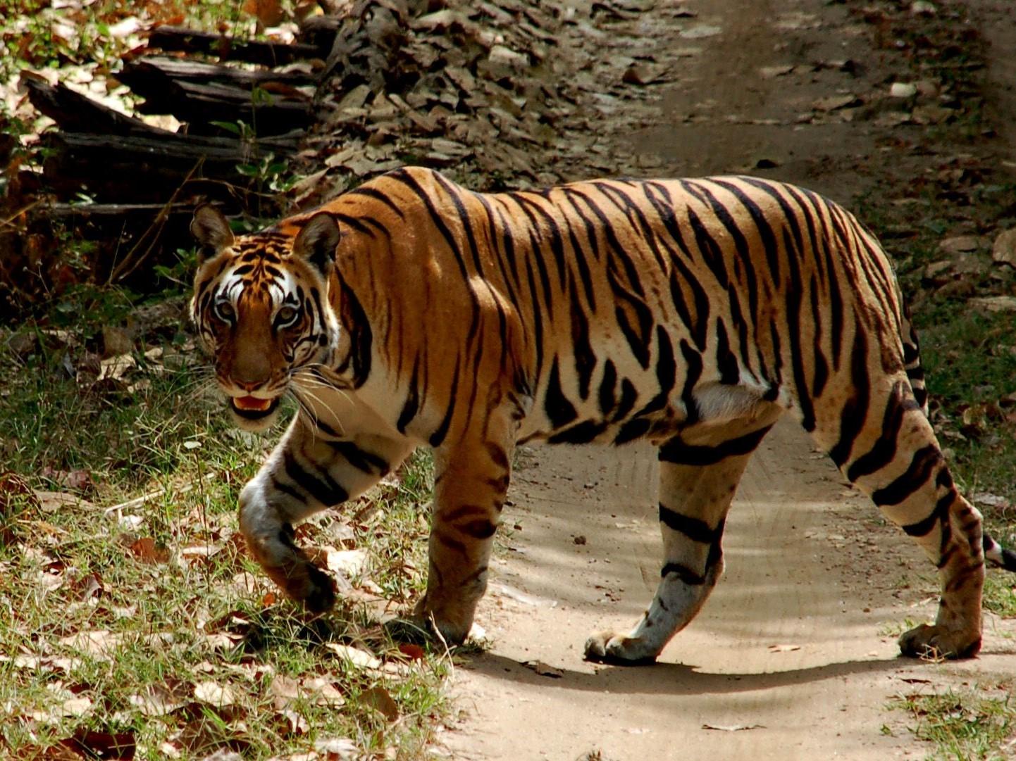 tijgersafari, tijger, kanha, tijgerreis kanha