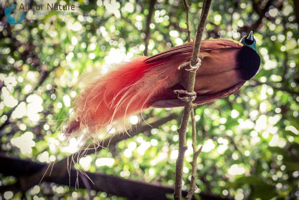 vogelreis Papaoe