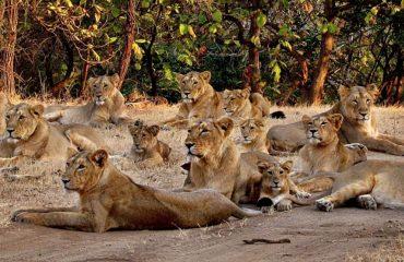 Leeuwen Gir National Park