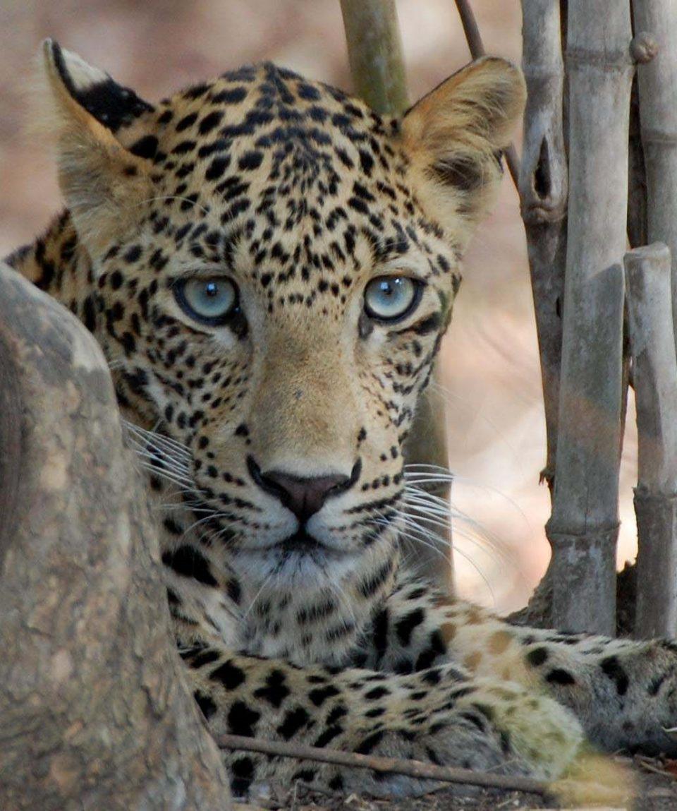 Luipaard Tadoba met dank aan Tiger Trails Jungle Lodge