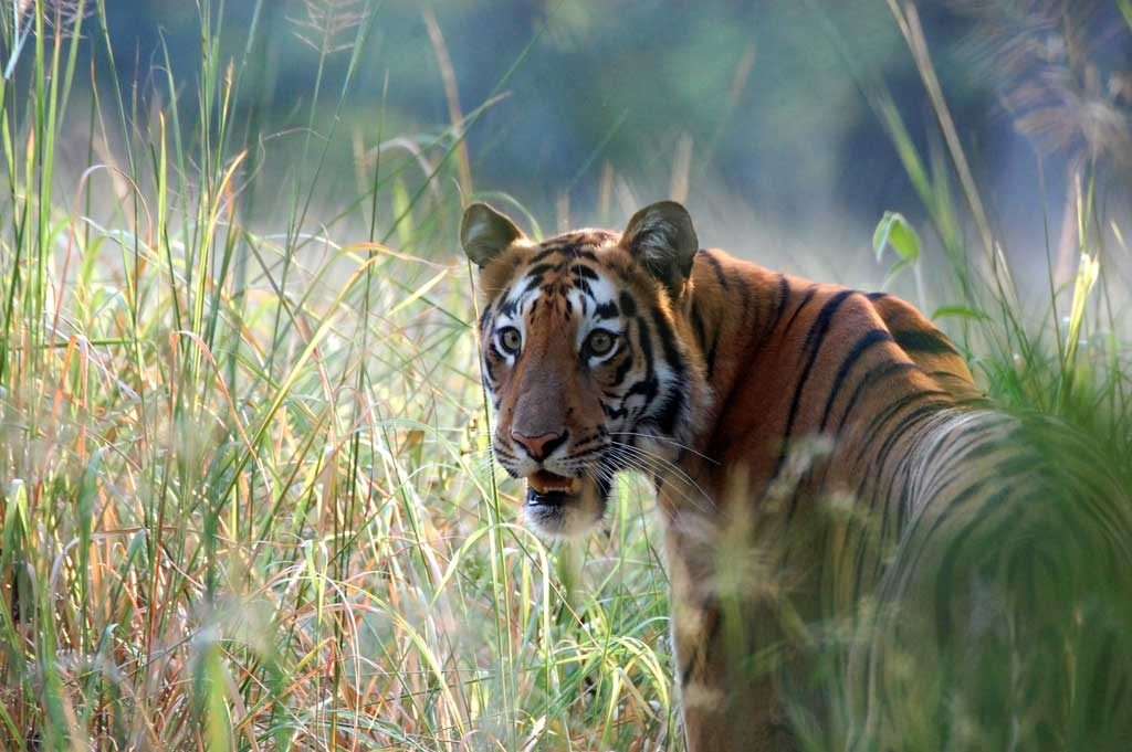 tijger, tadoba, tijgersafari, india