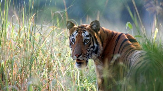 Tijgerin Madhuri met dank aan Tiger Trails Jungle Lodge