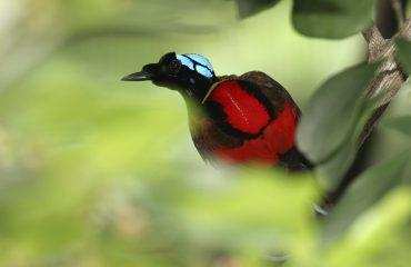 Wilsons paradijsvogel