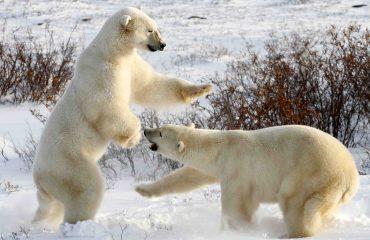 Ijsbeer bij Churchill ©Simon Gee